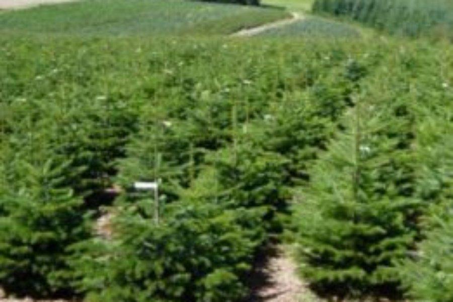 Vente aux particuliers : Plantation de pins noir d'Autriche et sapins